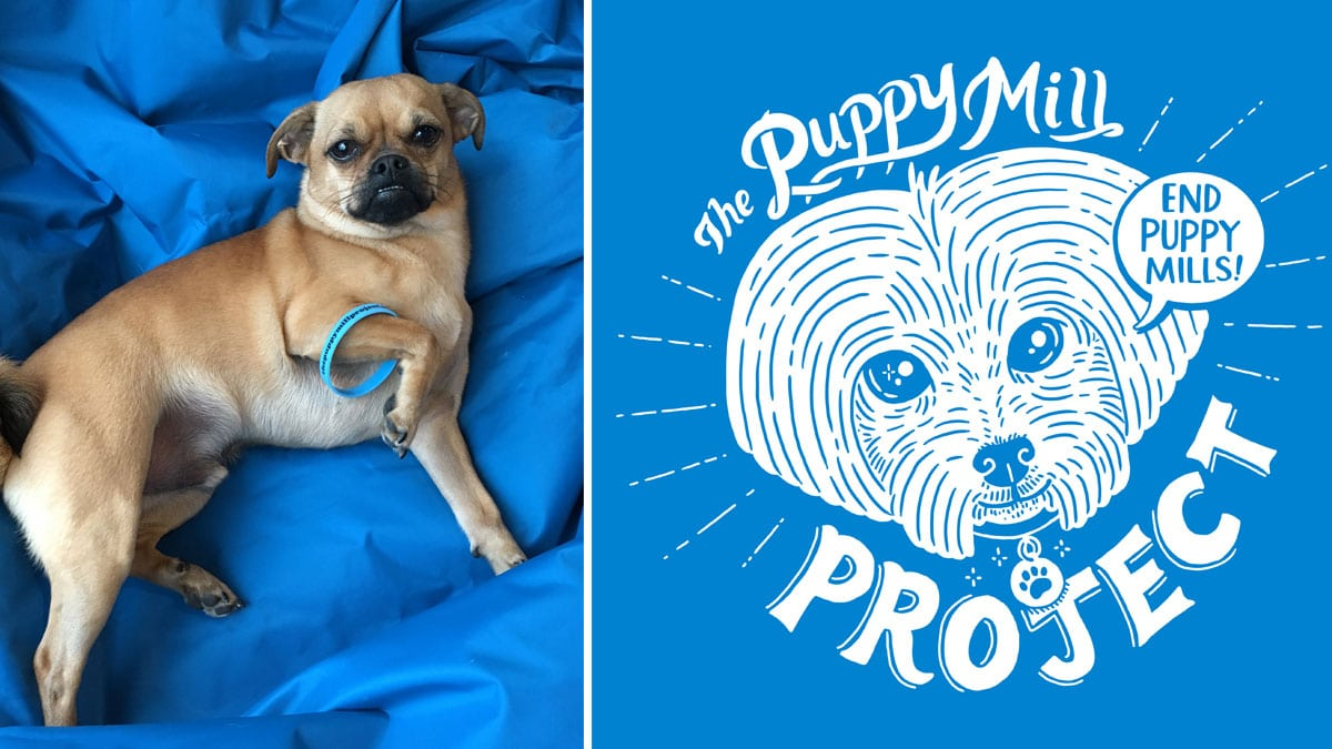 Whisky laying next to Puppy Mill event t-shirt with wristband
